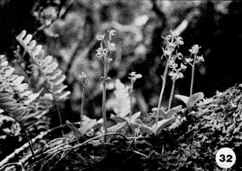 32. Liparis hawaiensis Image from the Kaala Bog Plant Guide: Kaala Natural Area Reserve, Mt. Kaala, Oahu, a 1992 publication of the State of Hawaii (DLNR/DOFAW) .