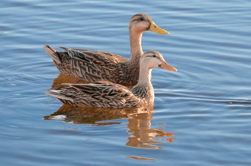 Mottled Ducks.