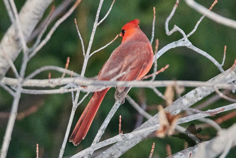 Northern Cardinal_2018-12-09_2