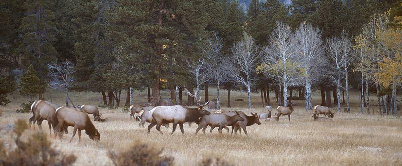 Elk in Estes Park.jpg
