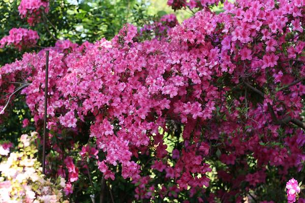 Arboretum April 1, 2011 - Dallas Blooms
