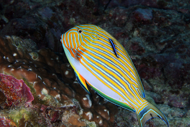 Cleaning Striped Surgeonfish.jpg