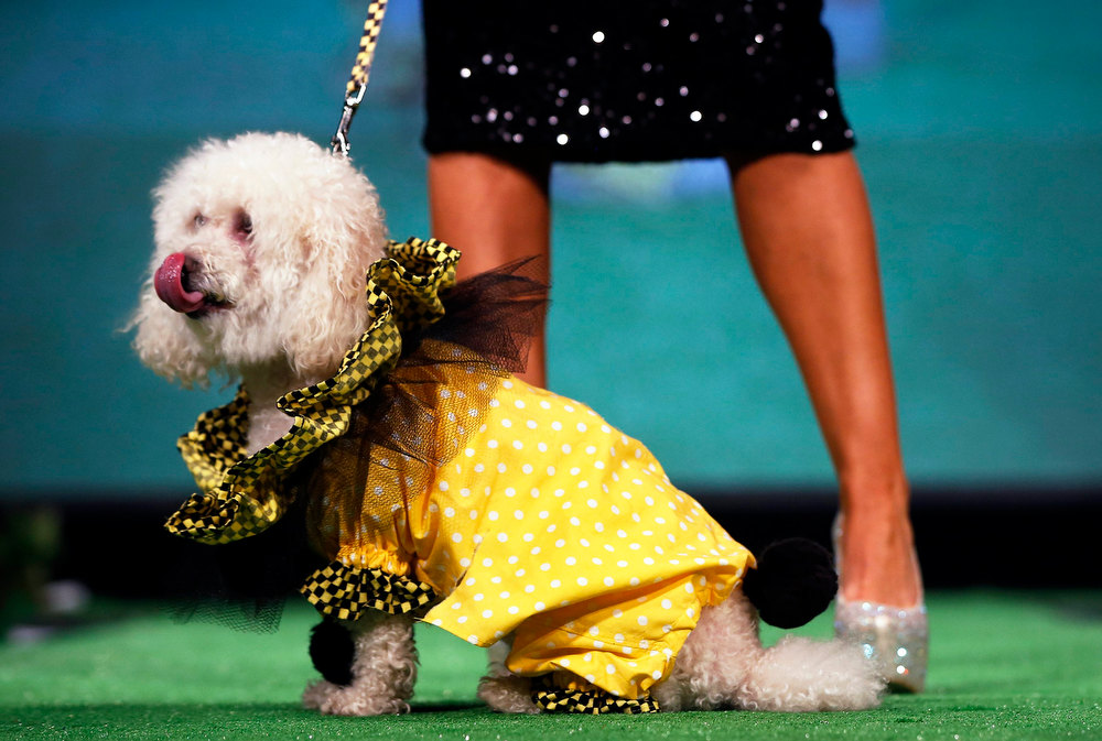 . Milo a Poodle and Pomeranian breed mix , sits on the runway of the New Yorkie Runway Doggie Fashion Show in New York February 7, 2013. REUTERS/Shannon Stapleton