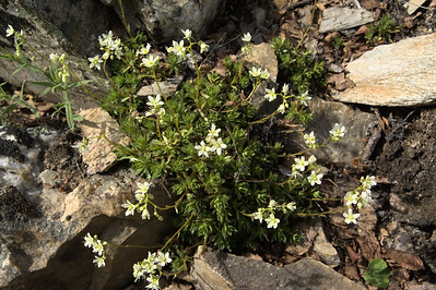 Prickly saxifrage