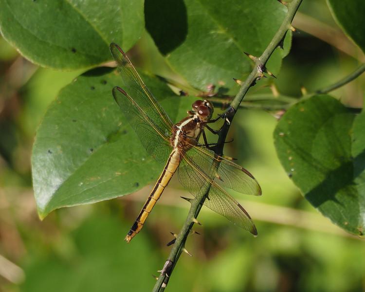Needham's Skimmer, female