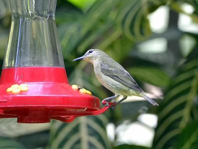 Panama July 9 - July 16_Birds