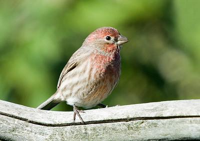 Finch - House Finch