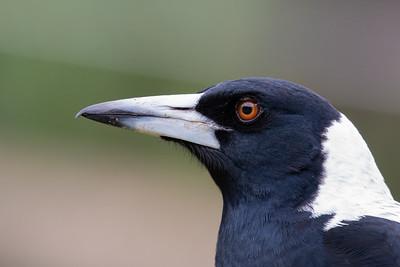 Woodswallows, Currawongs, Butcherbirds, Magpies- ARTAMIDAE