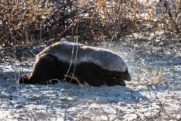 Mammals-Carnivores (Carnivora)