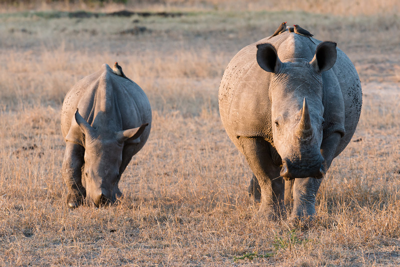 Rhino calf and Mother, with passengers.