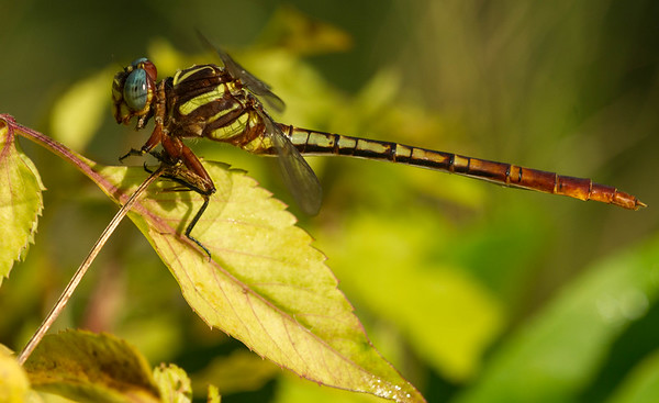 Two-striped Forceptail