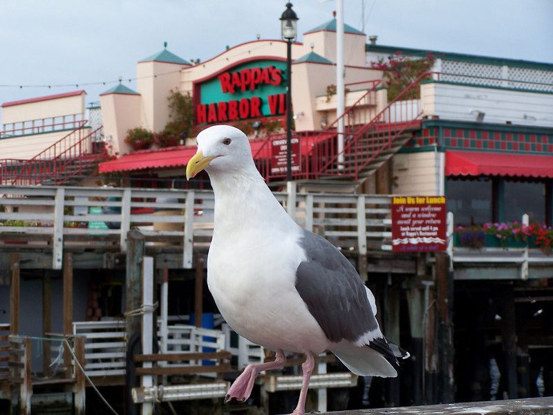 The large Western Gull is 24-27 inches tall. He is not a shy bird, but seems more than willing to pose for pictures (perhaps in hope of receiving a reward?)