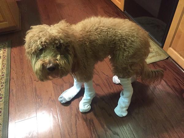 Bentley loves socks