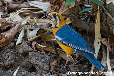 Orange-headed Thrush, Todoba, India