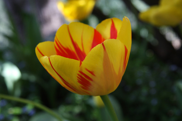 Ananda Village Tulips, April 11, 2014
