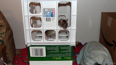 One Example of a Rat Play Room