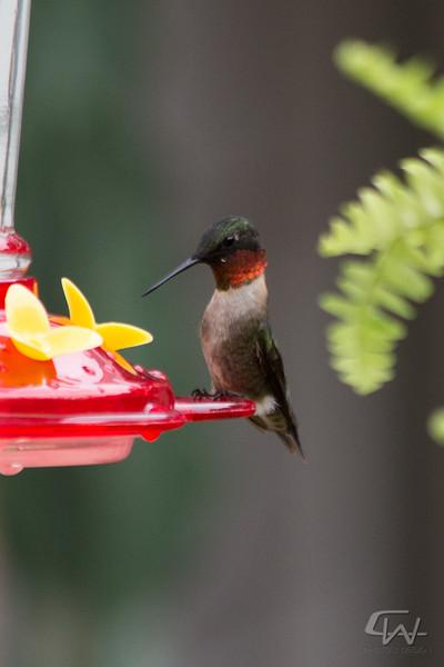Hummingbird-1949.jpg