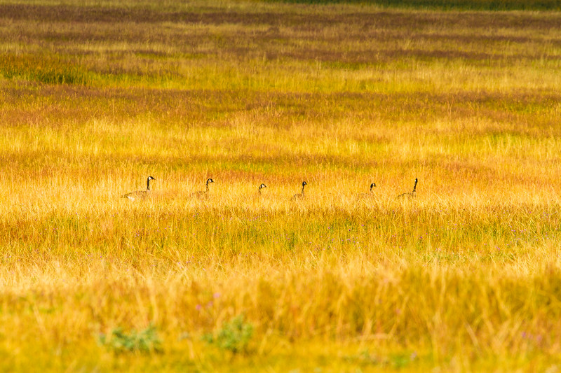 Geese in grass, Yellowstone National Park