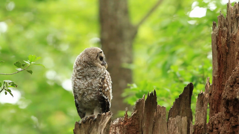 Barred owl food exchange