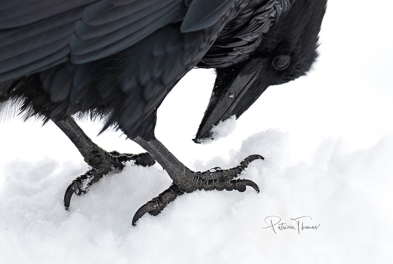 raven feet large wm moved left.jpg