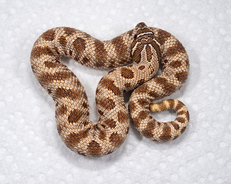 Anaconda Het Albino Hognose (HG05), Female, 22 grams, $150 _sold, Mark V.