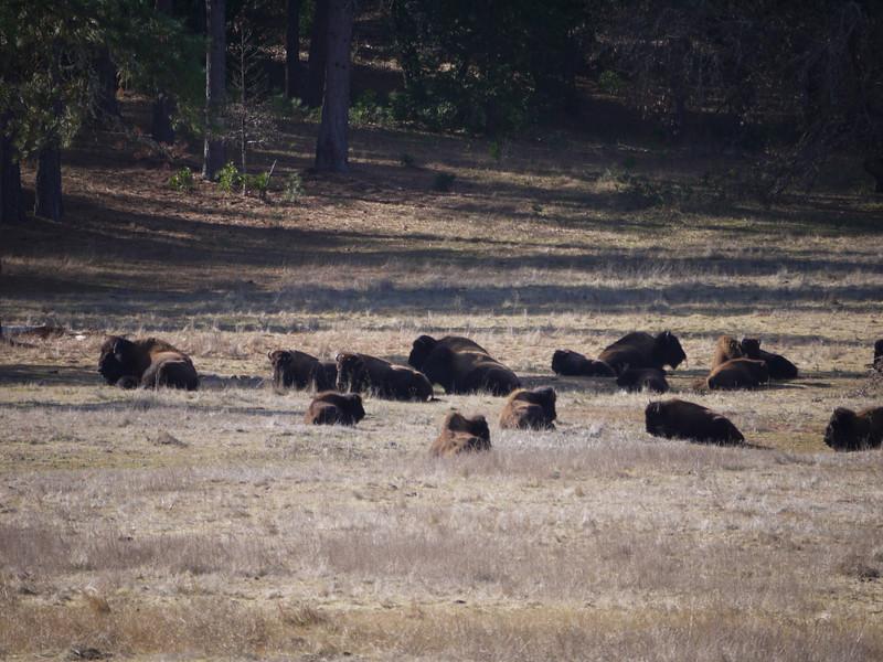 Bison near Railroad Flat, CA