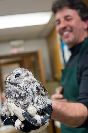 02/08/19 Wesley Bunnell | Staff The Hungerford Park Nature Center held a paint night and a live owl presentation by Director Tom Pascocello earlier this year. An Eastern Screech-Owl is handled by Pascocello to allow the attendees an up close look as well as an explanation of owl behavior.