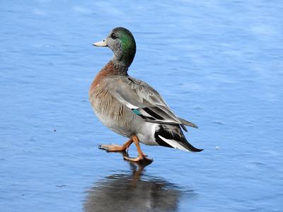 Odd duck 2021