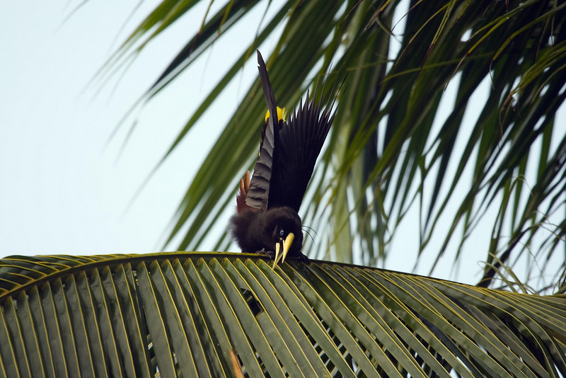 Crested Oropendola (3) at Barquilla de Fresa, Venezuela.psd