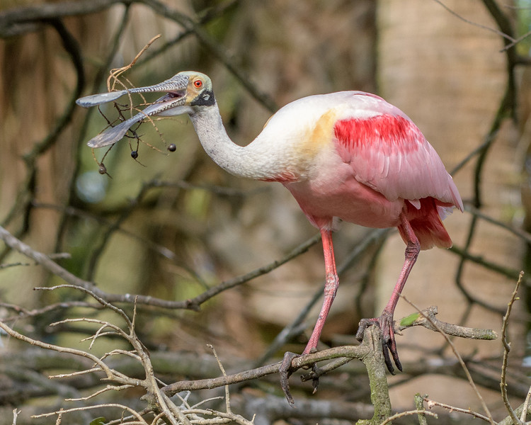 Roseate Spoonbill - this stick is sticky