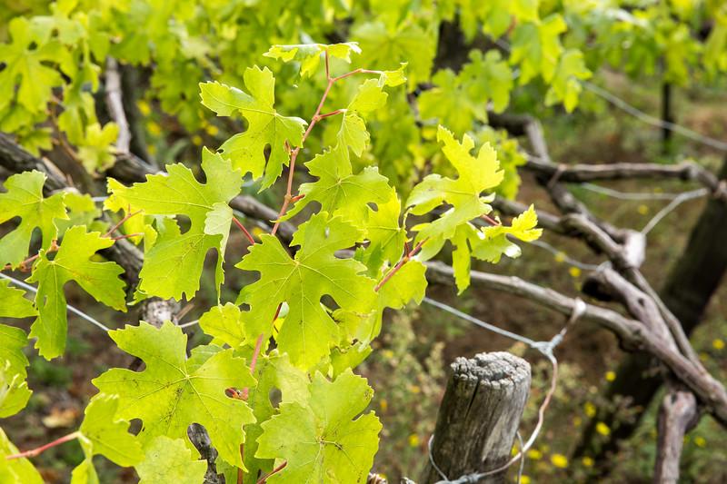 Manarola Vineyards