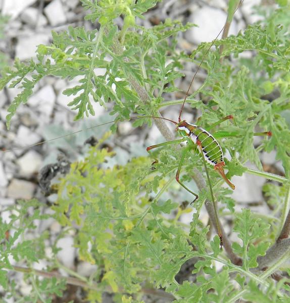 Terlingua Katydid antennae.jpg