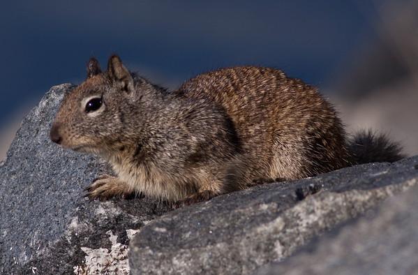 Common Ground Squirrel