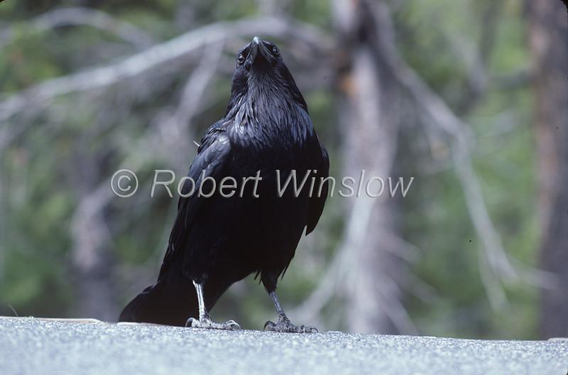 Raven, Corvus corax, Grand Teton National Park, Wyoming, USA, North America, Order PASSERIFORMES - Family CORVIDAE