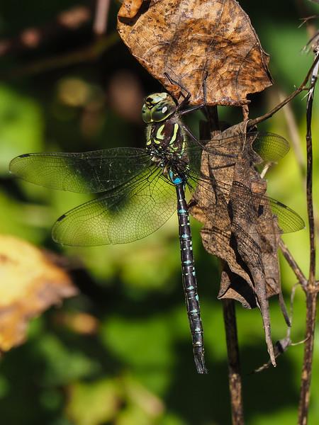 Shadow Darner, male