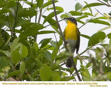 YellowBreastedChatA27884.jpg