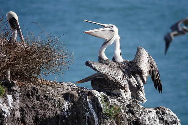 Pelicans are plentiful in Pismo Beach. Here's a collection of them.