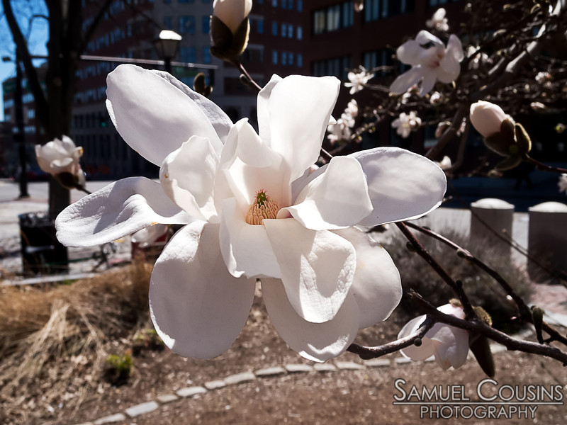A blooming magnolia flower in Lobsterman Park in downtown Portland, Maine.