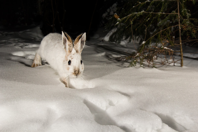 Snowshoe Hare uncropped-5376.jpg