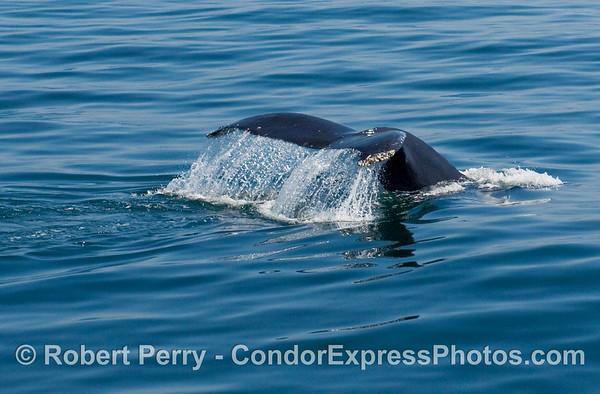 2009 04-04 Condor Express - Dolphins & Humpies & Pelicans !!