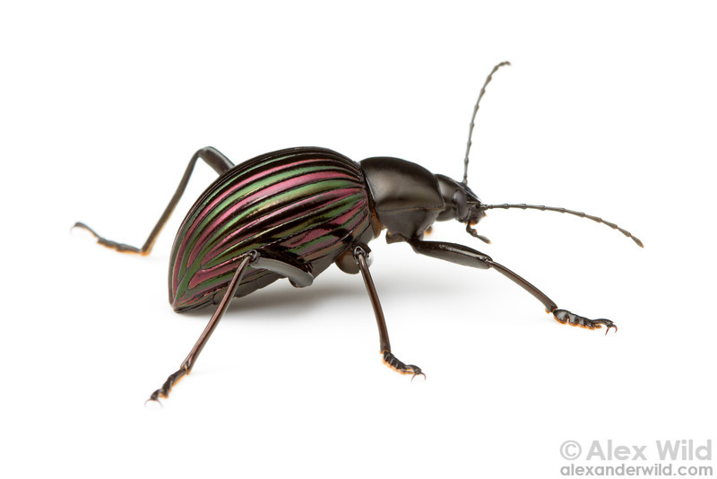 A colorful Hegemona darlkling beetle photographed in the studio. We will demonstrate how to build a whitebox mini-studio for these simple compositions, and we will have several whiteboxes available to you throughout the course.