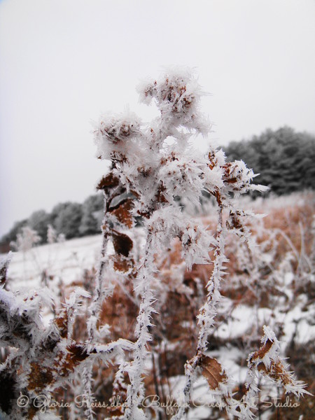 frosted seed head