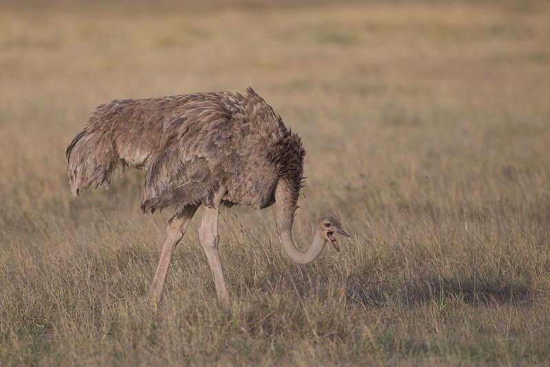 Common Ostrich - Amboseli National Park, Kenya
