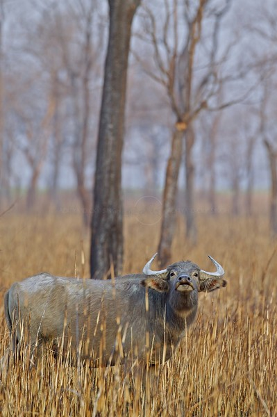 Wild Buffalo in burnt out grasslands in Kaziranga national park in the north east Indian state of Assam