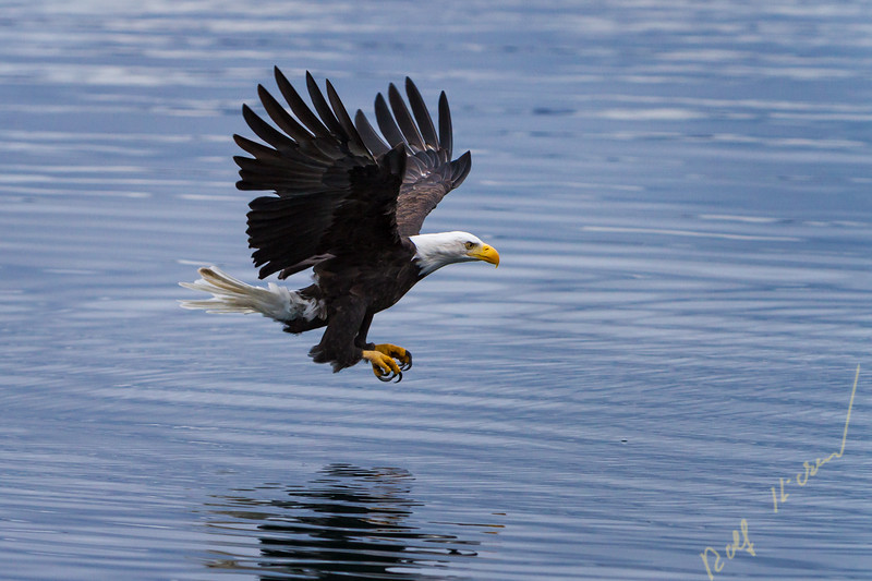 Adult bald eagle flying low over water ready to catch a fish in Broughton Archipelago Marine Provincial Park of northern Vancouver Island, British Columbia, Canada.