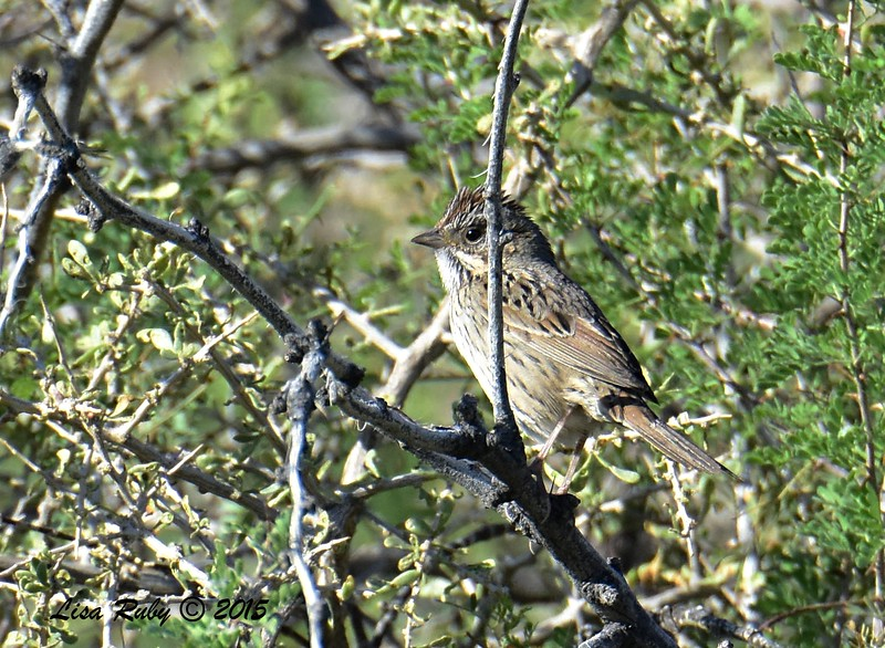 Lincoln's Sparrow - 4/5/2015 - Moonlight Trail, Agua Caliente