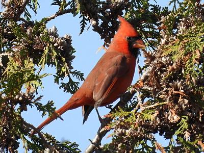 20201107 Northern Cardinal