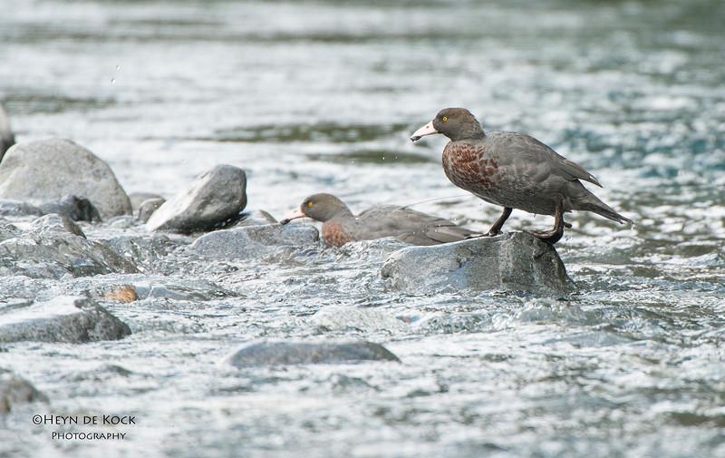 Blue Duck, Fiordland NP, SI, NZ, Jan 2013.jpg