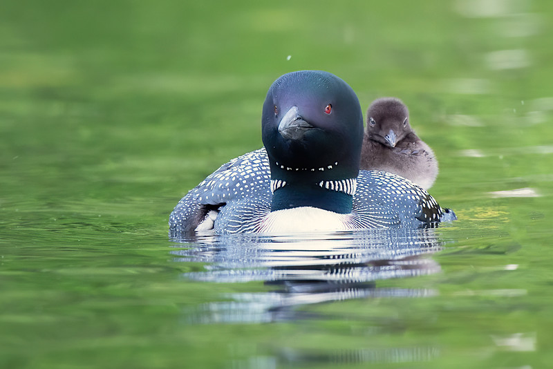 #1249 Common Loon and Chick