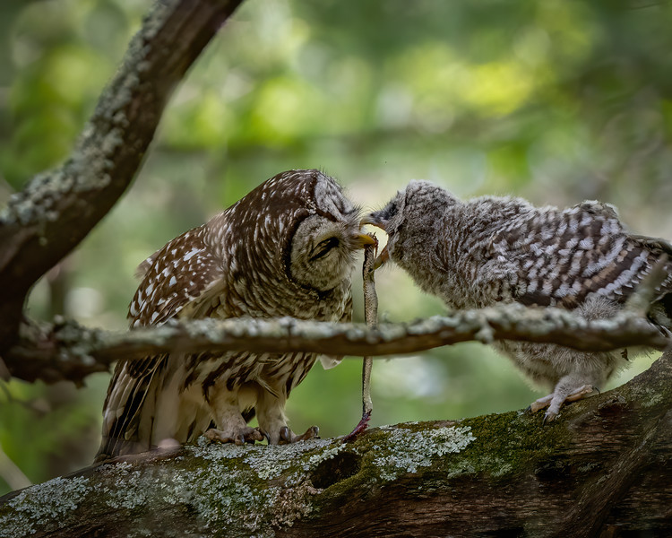 _6005778-Edit Barred Owl snake lunch.jpg
